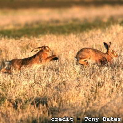 two brown hares running
